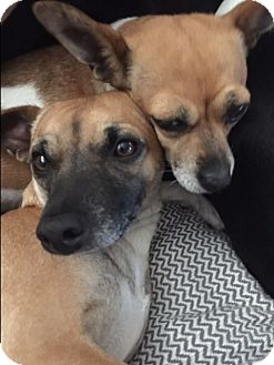 Chihuahua/Dachshund Mix Dog for adoption in Los Angeles, California - Slinky - VIDEO!