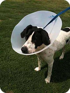 English Setter Mix Dog for adoption in Southampton, Pennsylvania - Plum