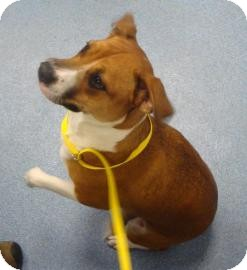 Beagle/Bull Terrier Mix Dog for adoption in Gainesville, Florida - Tess