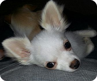 Chihuahua Mix Puppy for adoption in Seattle, Washington - WOW