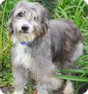 Bearded Collie Mix Dog for adoption in Norwalk, Connecticut - Tootsie - adoption pending