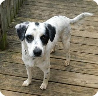 Pointer/Setter (Unknown Type) Mix Dog for adoption in Washington, D.C. - Percy