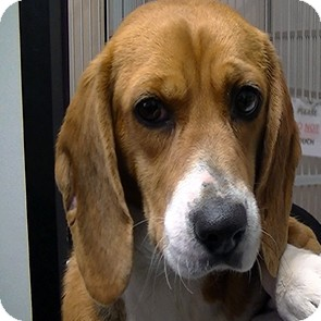 Beagle Dog for adoption in baltimore, Maryland - Georigia