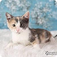 Adopt A Pet :: Sapphire - Eagan, MN