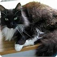 Adopt A Pet :: Wolfgang von Puffytail - AUSTIN, TX