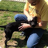 Adopt A Pet :: Shorty - Ashland, VA