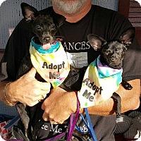 Adopt A Pet :: Dolce ànd Gabbana - Ft. Lauderdale, FL