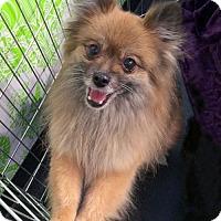 Adopt A Pet :: Tink - Irvine, CA