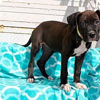 Adopt A Pet :: Pineapple - Los Angeles, CA