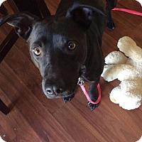 Adopt A Pet :: Shelly - KANNAPOLIS, NC