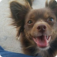 Adopt A Pet :: Molly - Glendale, AZ