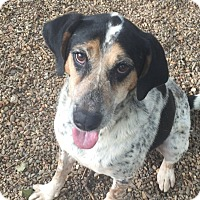 Adopt A Pet :: Blue - Simpsonville, SC