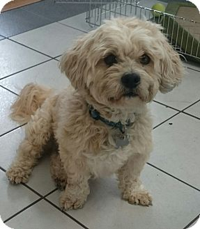 Lhasa Apso/Westie, West Highland White Terrier Mix Dog for adoption in Sugarland, Texas - Mason