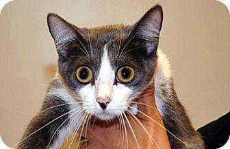 Domestic Shorthair Cat for adoption in Wildomar, California - Marie
