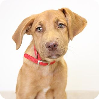 Golden Retriever/Labrador Retriever Mix Puppy for adoption in Edina, Minnesota - Omar D161640: PENDING ADOPTION