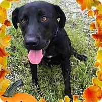 "Labrador Retriever Dog for adoption in Franklin, Tennessee - Abraham ""Abe"""