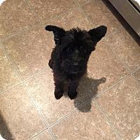 Adopt A Pet :: Bear - Lexington, KY