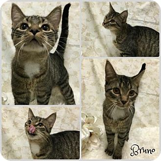 Domestic Shorthair Cat for adoption in Joliet, Illinois - Bruno