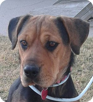 Shar Pei Mix Dog for adoption in Manhattan, Kansas - Carrington