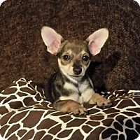 Adopt A Pet :: Hurley-I need my holiday home! - Victorville, CA