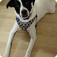 Labrador Retriever/Australian Kelpie Mix Dog for adoption in Alpharetta, Georgia - Whistler