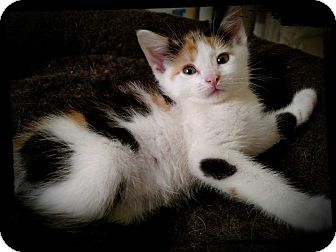 Calico Kitten for adoption in Richmond, Virginia - Sassafras