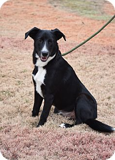 Border Collie/Labrador Retriever Mix Dog for adoption in Greenfield, Wisconsin - Buddy