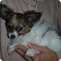 Adopt A Pet :: Petunia Pending - Manchester, NH