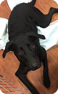 Labrador Retriever/Weimaraner Mix Puppy for adoption in Lyndhurst, New Jersey - Chelsey
