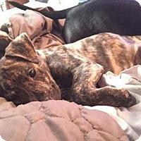 Adopt A Pet :: Brindle Pitty Mix Young Pup - Rowayton, CT