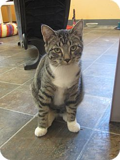 Domestic Shorthair Cat for adoption in Ridgway, Colorado - Savannah