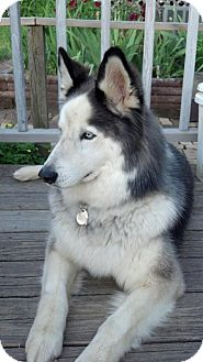 Husky Mix Dog for adoption in East McKeesport, Pennsylvania - Nico