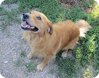 Golden Retriever Mix Dog for adoption in Geneseo, Illinois - Sasha