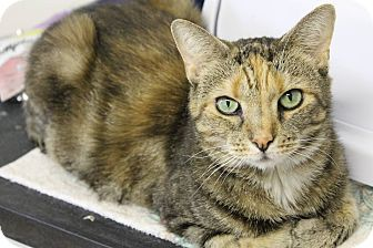 Calico Cat for adoption in Huntington Station, New York - AUDREY