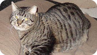 Abyssinian Cat for adoption in Phoenix, Arizona - Sawyer
