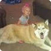 Siberian Husky Dog for adoption in Thatcher, Arizona - Kaya