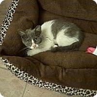 Adopt A Pet :: Phantom - Phoenix, AZ