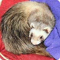 Adopt A Pet :: Diablo - Buxton, ME