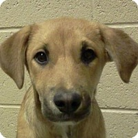 Adopt A Pet :: Sadee - Wickenburg, AZ