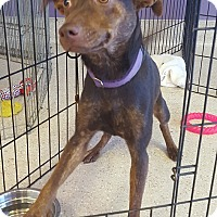 Adopt A Pet :: Ginger - Scottsdale, AZ