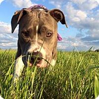 Pit Bull Terrier/Labrador Retriever Mix Dog for adoption in Costa Mesa, California - Kaylee