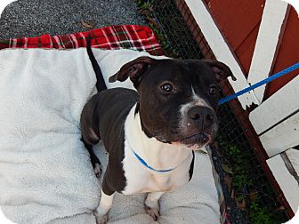 American Pit Bull Terrier/American Staffordshire Terrier Mix Dog for adoption in Houston, Texas - Kain