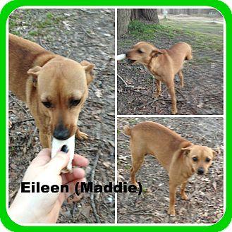 Chihuahua Dog for adoption in Malvern, Arkansas - EILEEN(Maddie)