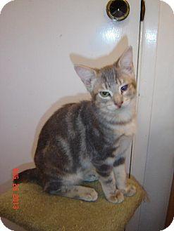 Domestic Shorthair Cat for adoption in Walnut Creek, California - Milo