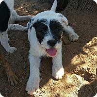 Adopt A Pet :: Lorelei - Tucson, AZ