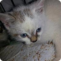 Adopt A Pet :: Merle - Brainardsville, NY