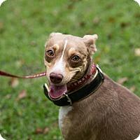 Adopt A Pet :: Bella - Daleville, AL