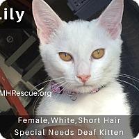 Adopt A Pet :: Lily - Temecula, CA