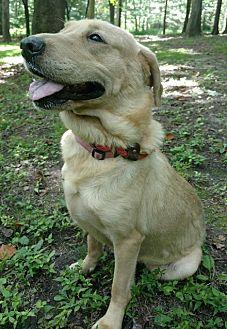 Labrador Retriever Mix Dog for adoption in Capon Bridge, West Virginia - Lily