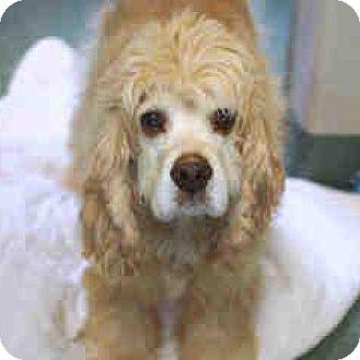 Cocker Spaniel Dog for adoption in Parker, Colorado - Cooper S 16-071